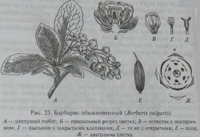 Семейство Барбарисовые (Berberidaceae)