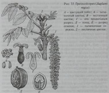Семейство Ореховые (Juglandaceae)