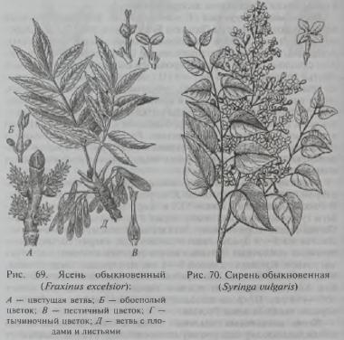 Семейство Маслиновые (Oleaceae)