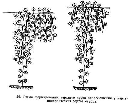 Схема формирование огурца плети