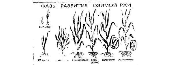 Интенсивное выращивание озимой пшеницы 88